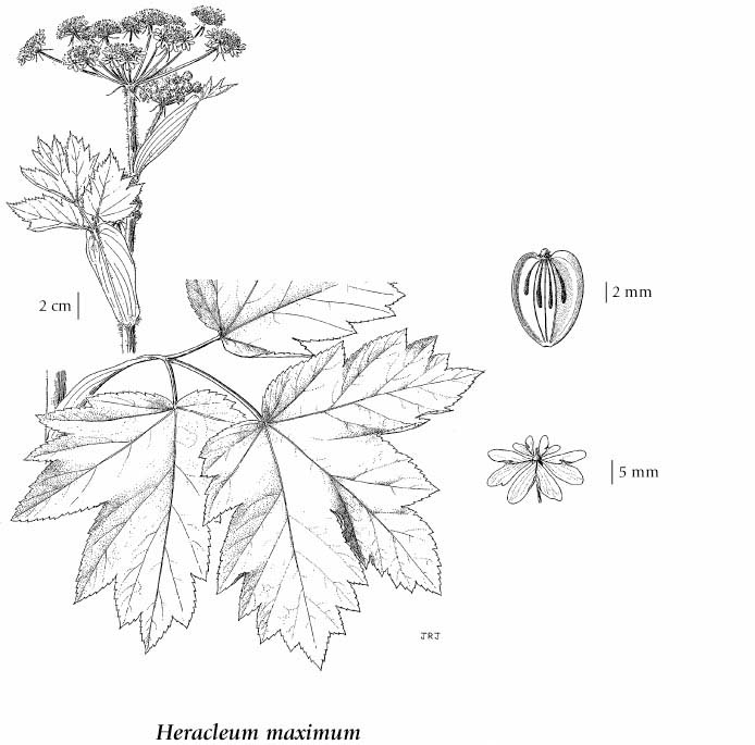e flora bc electronic atlas of the flora of bc Fern Leaf Anatomy if more than one illustration is available for a species e g separate illustrations were provided for two subspecies then links to the separate images