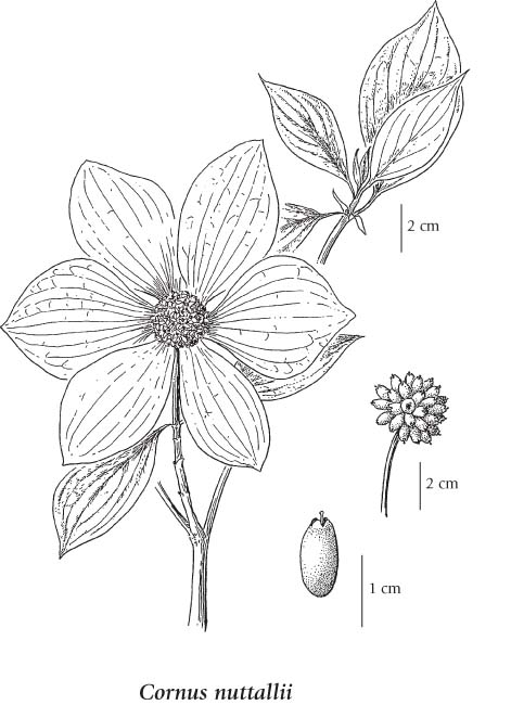 Dogwood Flower Line Drawing : The gallery for gt dogwood drawing