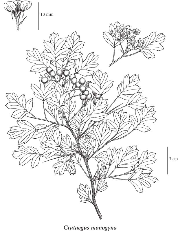 Crataegus Monogyna Drawing if More Than One Illustration