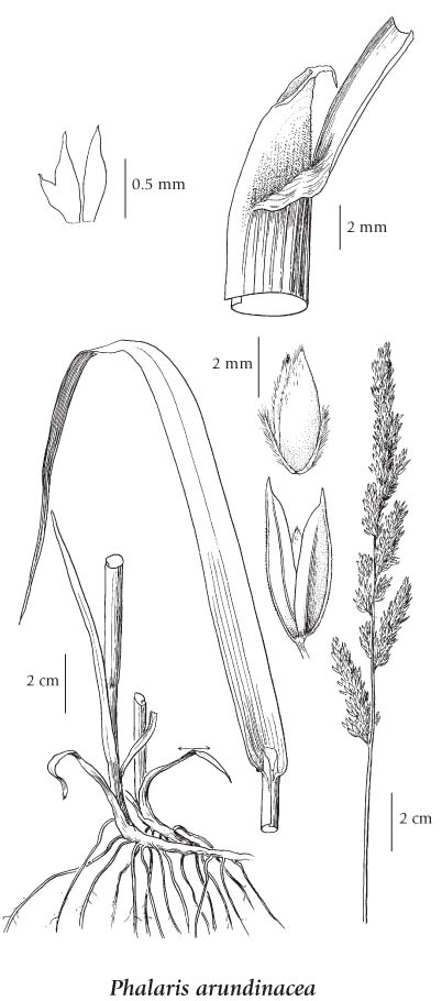 Reed Canary Grass Drawing if More Than One Illustration