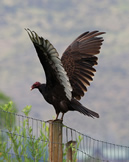 Visit Biodiversity of BC.  Turkey vulture photo by Brian Klinkenberg